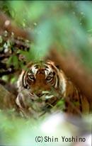 Tiger_yoshino